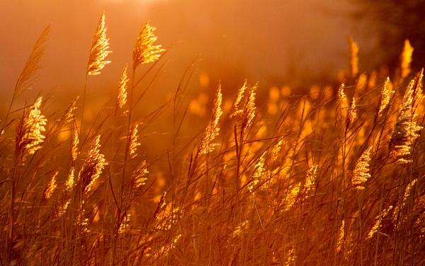 Sunset phragmites by oldgreyheron