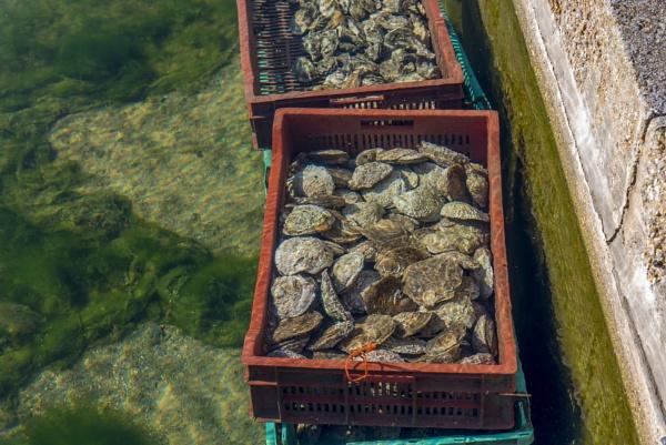 Oysters getting purified Mersea Island Essex by Mannyfreedman