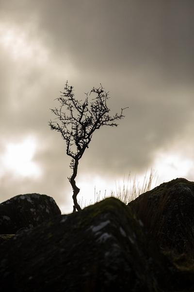 Lone Hawthorn by rontear