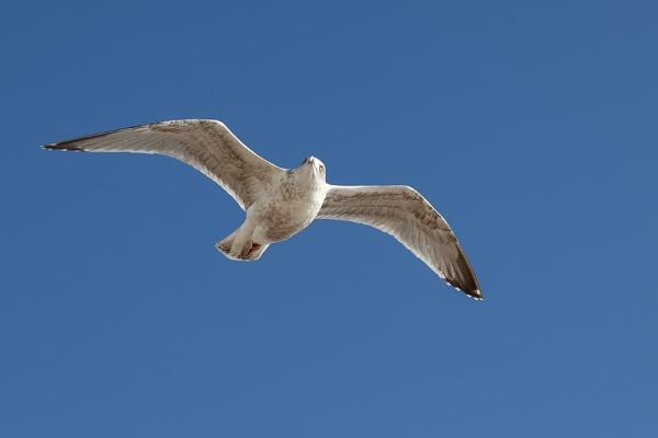 Common Gull (Larus canus) in flight at Worthing by Phil_Bird