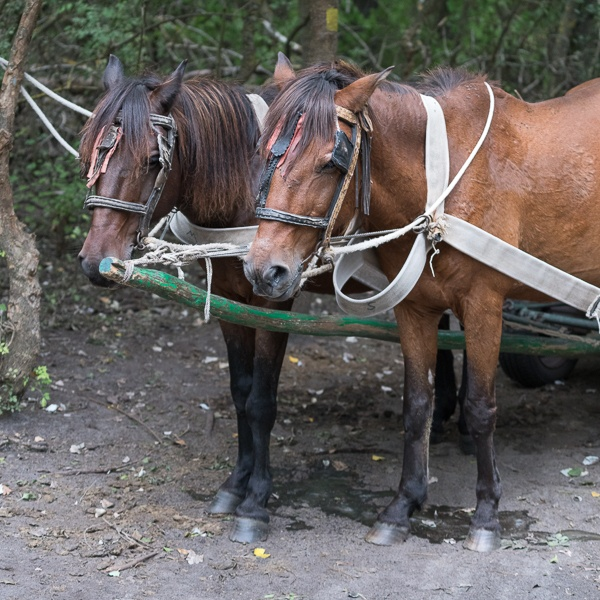 SULINA, DANUBE DELTA/ROMANIA - SEPTEMBER 23 : Working horses in by Phil_Bird