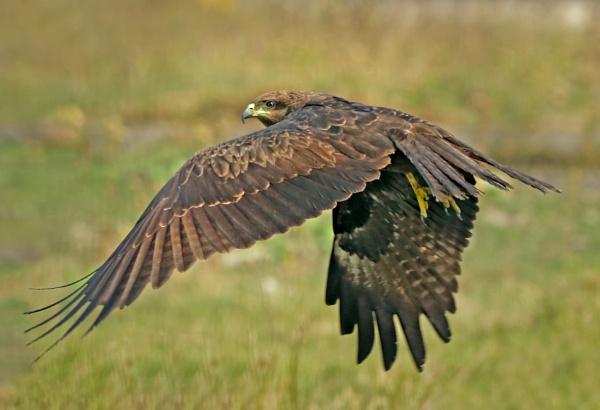 Black kite in flight by Shibram