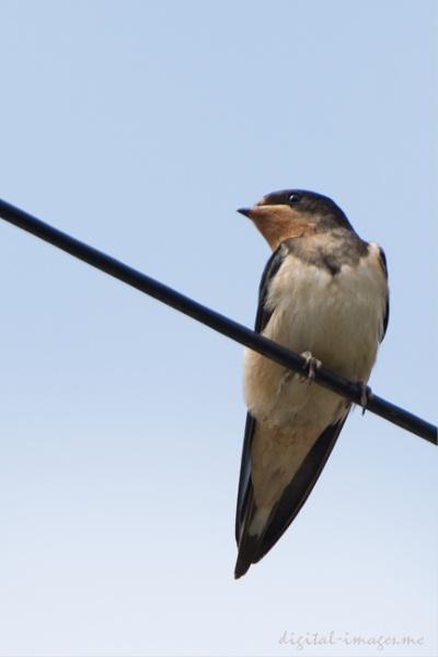 Swallow by Alan_Baseley