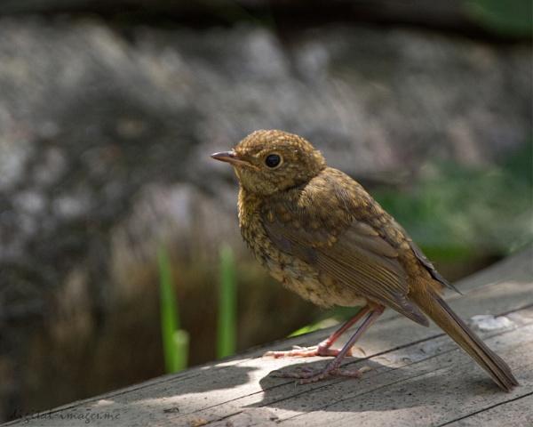 Juvenile Robin by Alan_Baseley