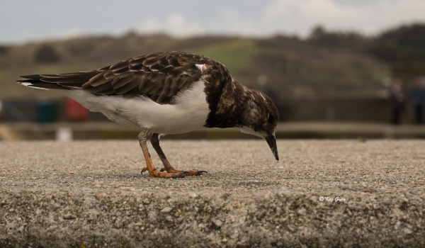 Turnstone by kaz1
