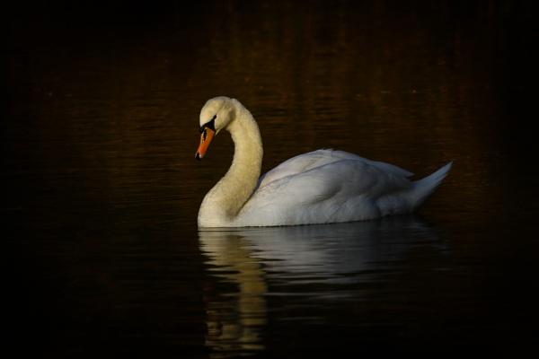 Serene Swan by Bazzaspal