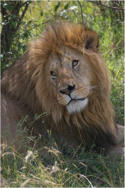 Lion by notsuigeneris
