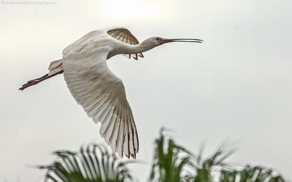 Spoonbill in flight by brian17302
