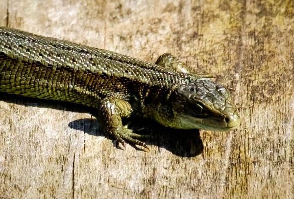 Common Lizard by Nikonuser1