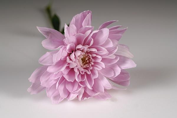 Chrysanthemum original by deavilin