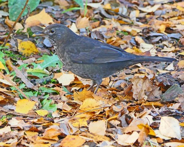 Female Blackbird by Ted447