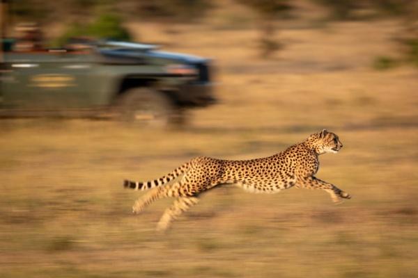 Slow pan of cheetah racing beside truck by NickDale