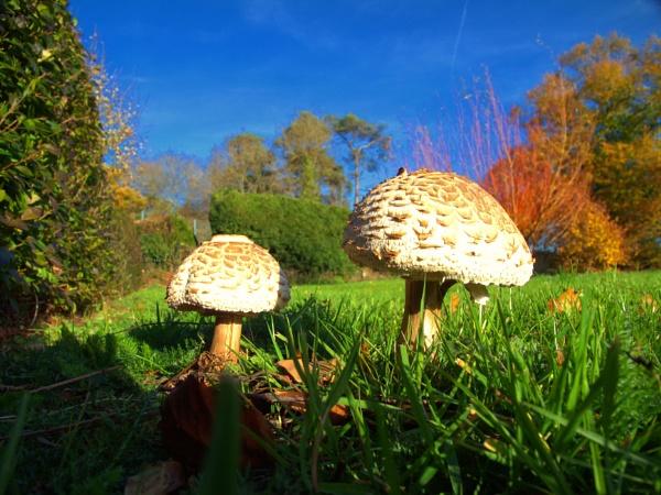 fungi parasol