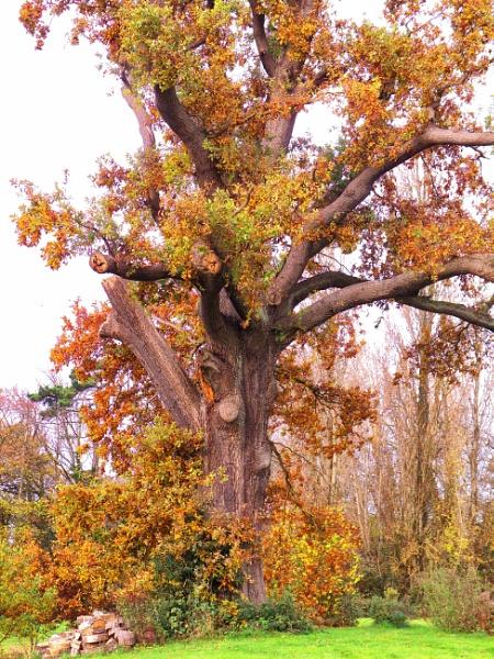 autumn oak by retroman