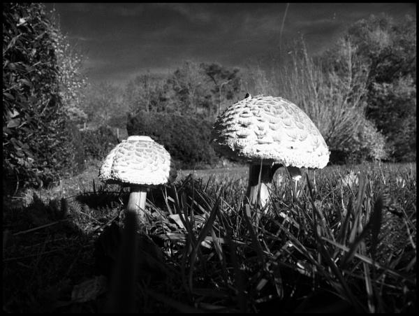 fungi parasol by retroman