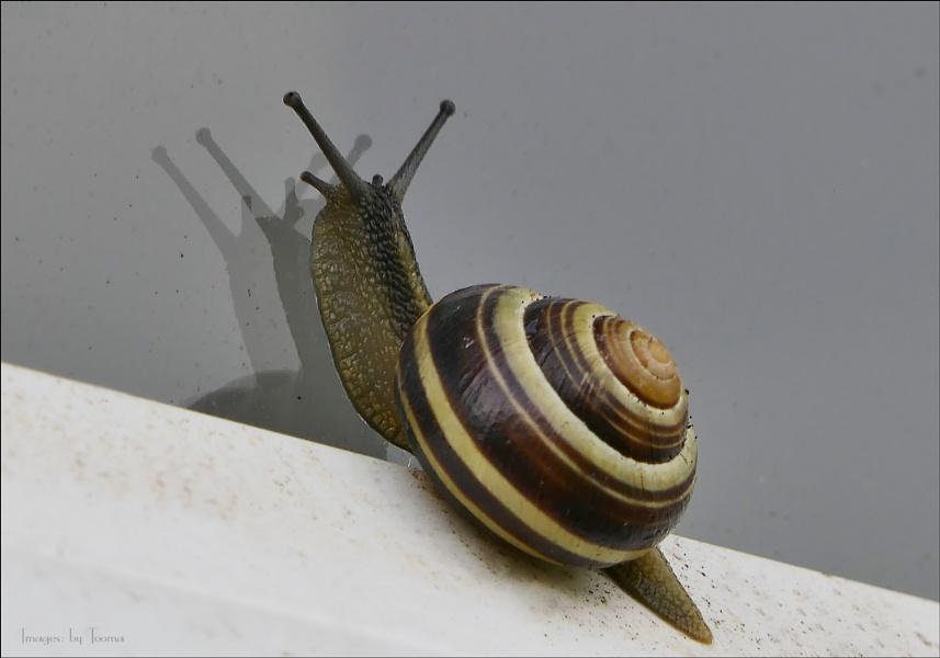 Litttle Local Snail.