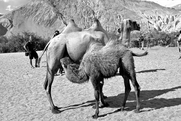 *** Nursing Bactrian camel *** by Spkr51