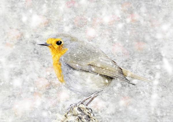 "\""Yorkshire Robin\"". by adrianedwa"