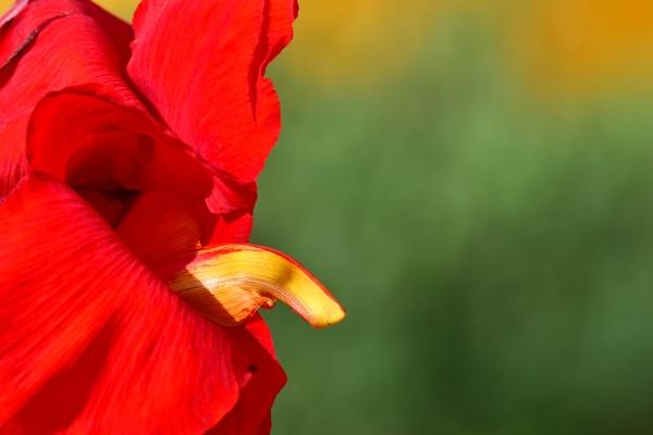 FLOWERS: RED (again) by Savvas511