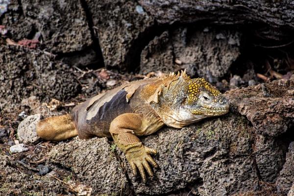 Land Iguana - Galapagos by barryyoungnz