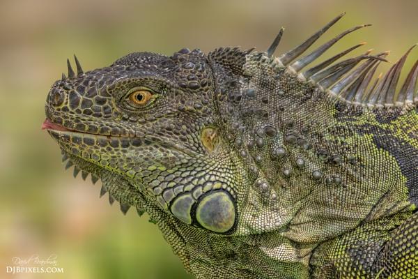 Green Iguana Headshot - 2 by DBoardman