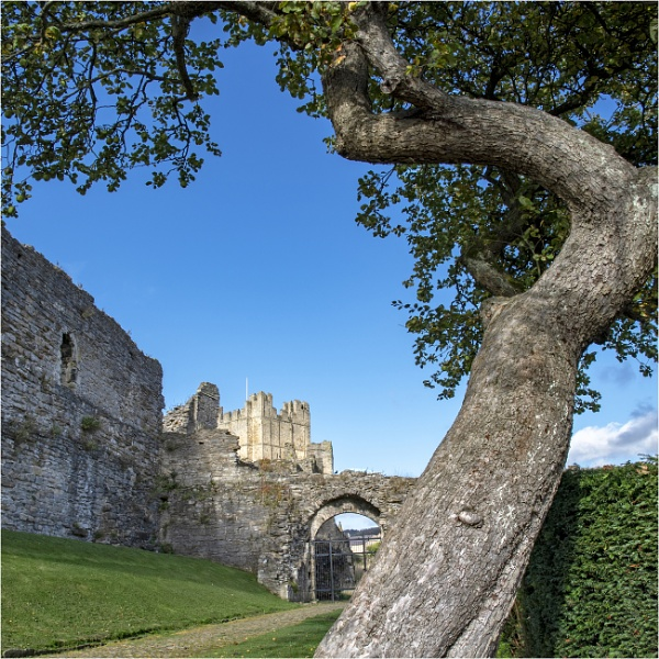 The old apple tree, Richmond Castle by mrswoolybill
