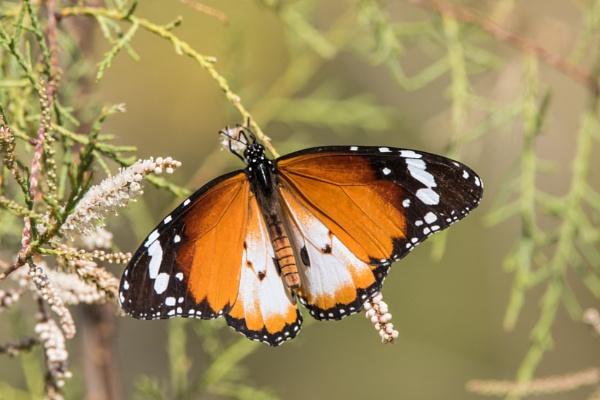 Monarch Butterfly by WorldInFocus