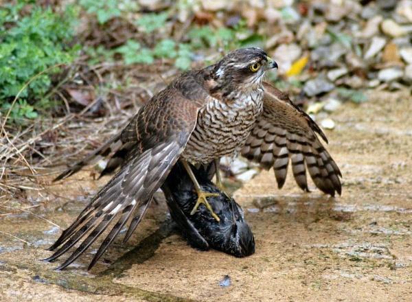 Sparrow Hawk with Starling Prey