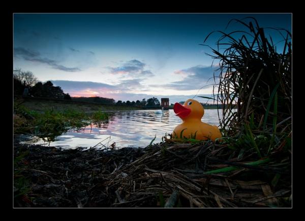 \'Ullo me Duck\' by bluesandtwos