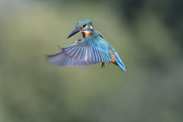 kingfisher by Kappelhoff