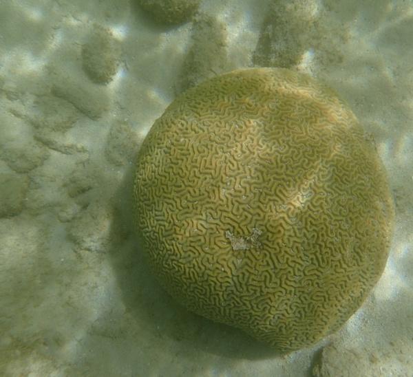 Brain Coral by voyger1010