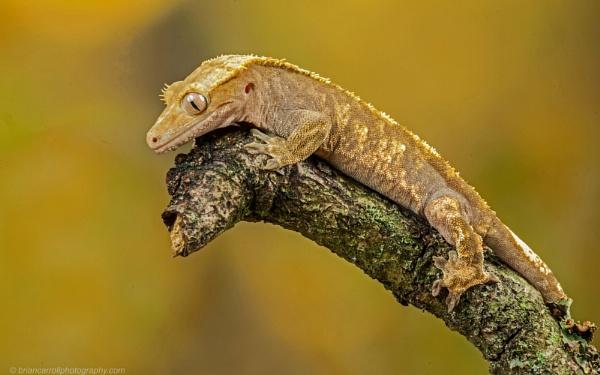 Gecko by brian17302