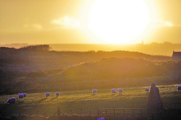 Sunset sheep. by macprints