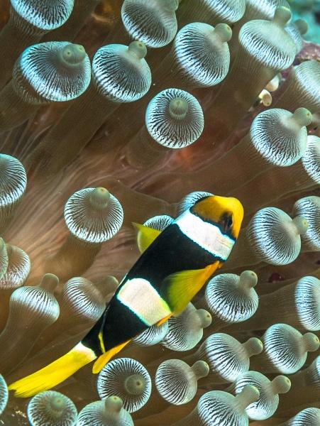 Anemonefish, Komandoo by dgould