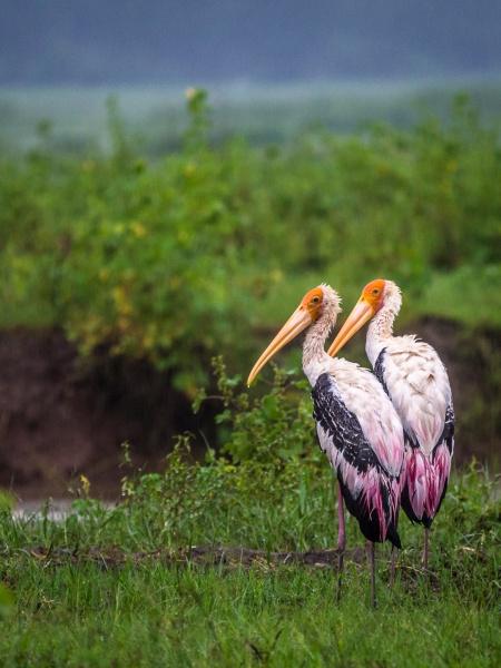 Storks on Elephant safari, Sri Lanka by dgould