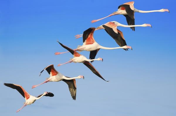 Flaminoes in flight...Composite by kanwarmunish