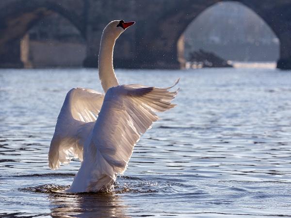 Charles Bridge Swan by Albooth
