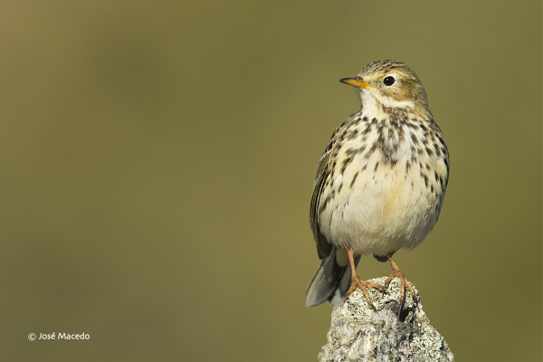 Meadow pipit (Anthus pratensis) by lord_macedo