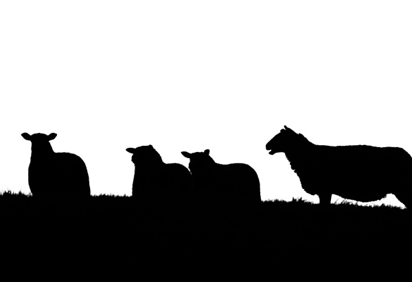 A Group of Sheep Silhouetted by sjcphotography