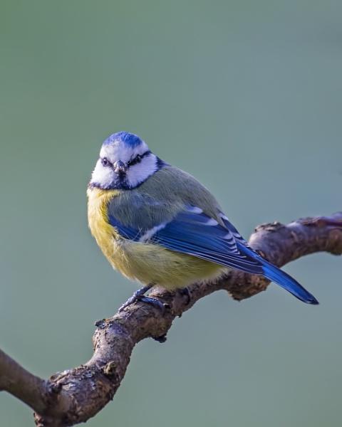 Blue tit by robert61