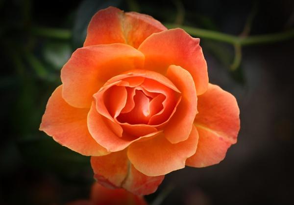 Orange Rose by adagio
