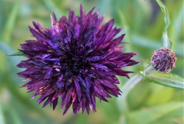 Cornflower. by rosej