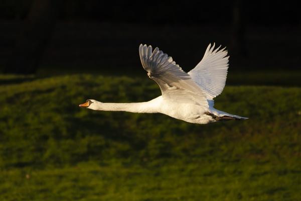 Swan Bif by chensuriashi