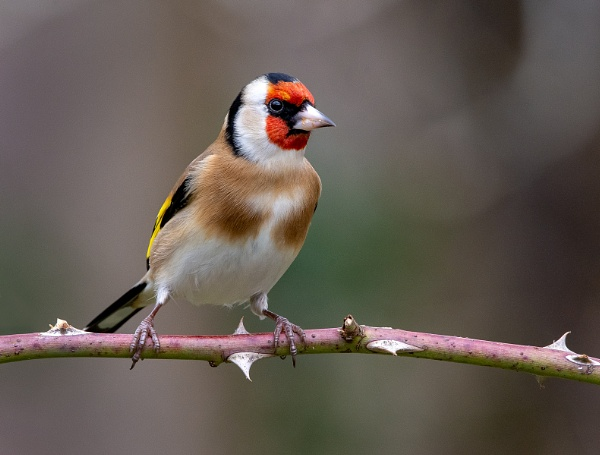 Goldfinch - Carduelis carduelis by Mike_Young