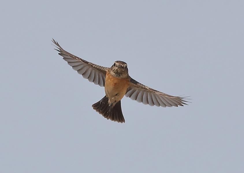 Female Stonechat in Flight