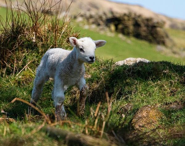 Spring Lamb by Trawden