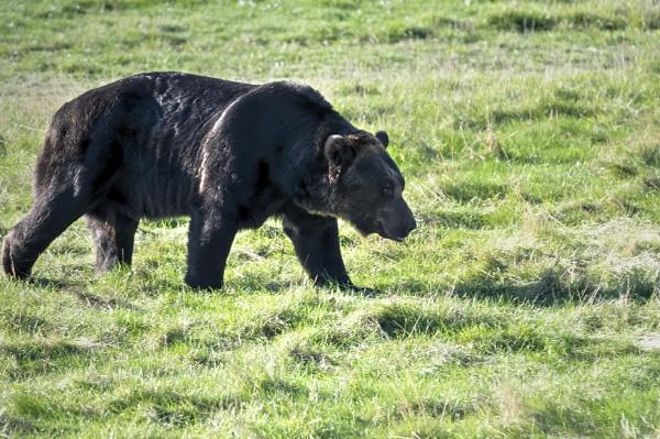 Brown Bear by harrywatson