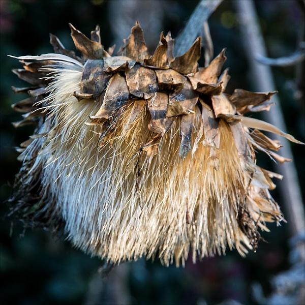 Globe artichoke by rambler