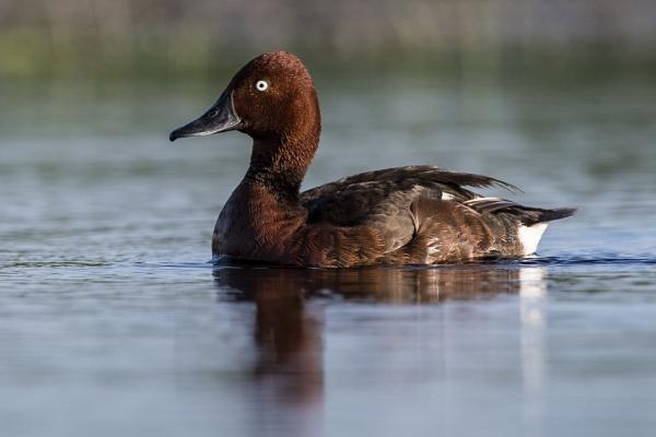 Ferruginous Duck - Aythya nyroca by richmowil