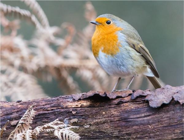 Robin by mjparmy